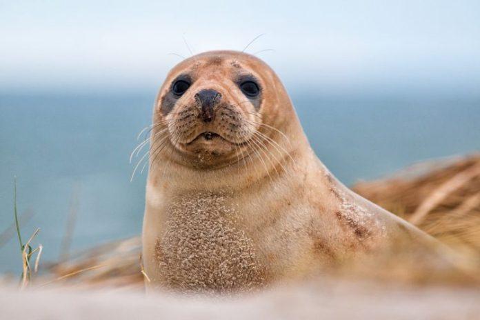 scuba diving galapagos fur seal