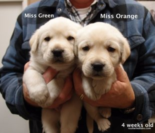 Female yellow lab puppies