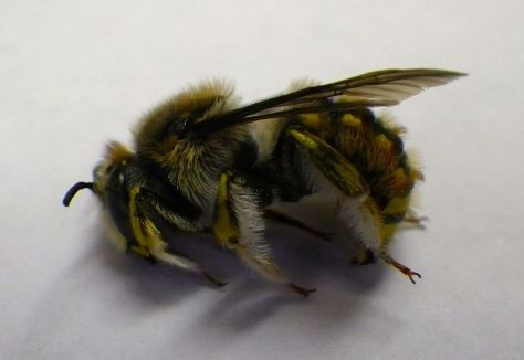 "Anthidium manicatum, the ""European wool carder bee"""