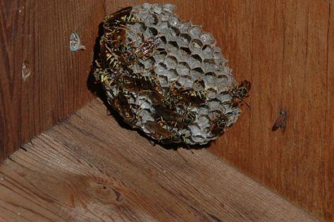Paper Wasp Nest