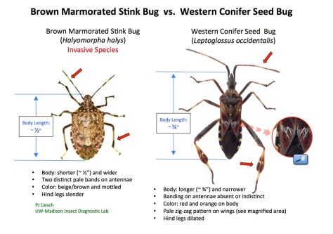 Western Conifer Seed Bug-ID Guide_opt