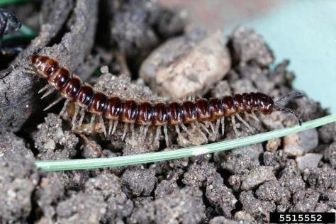 Greenhouse millipede.