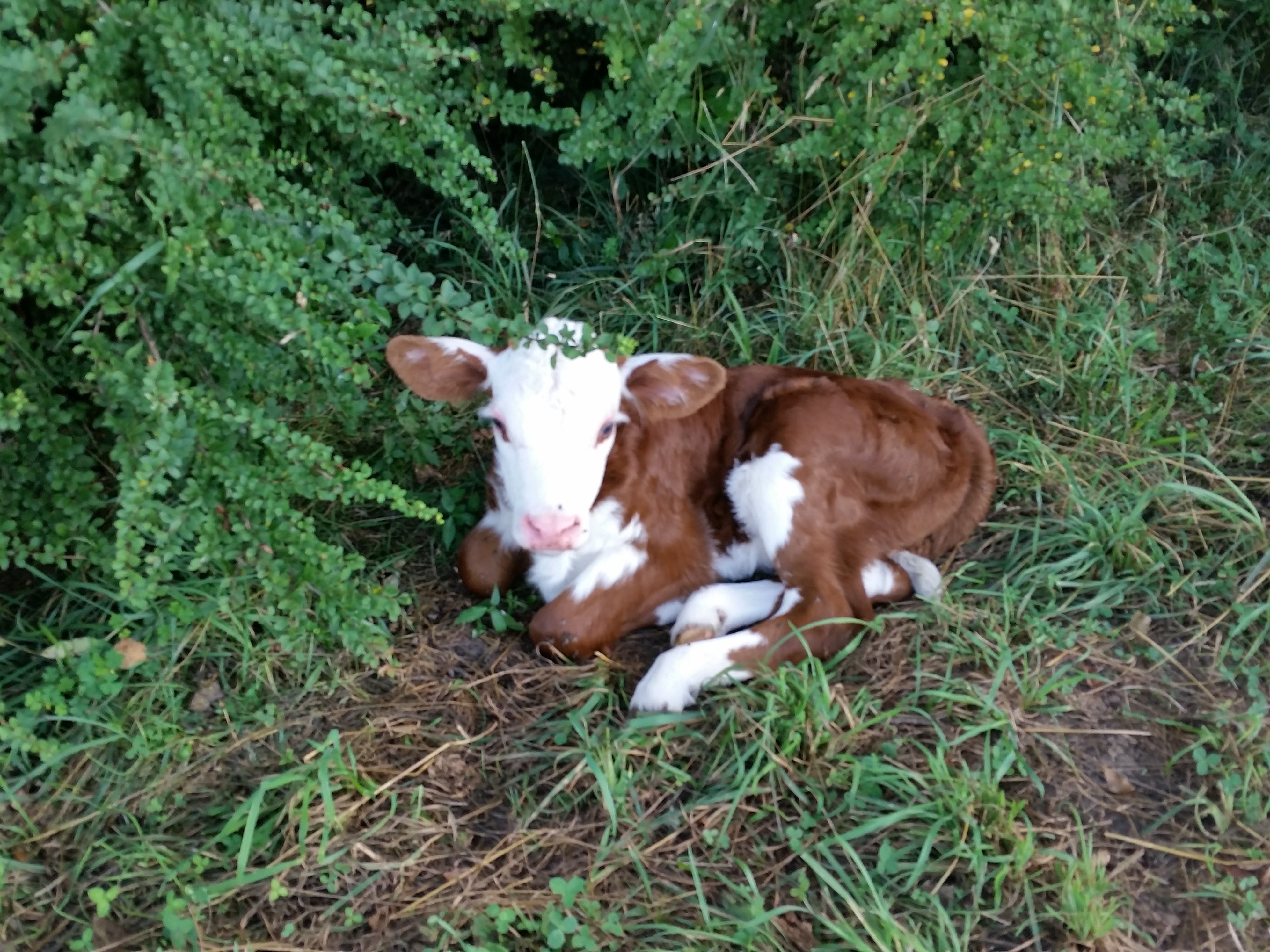 polled Hereford calf June 2016