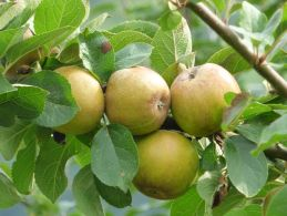 Russet_apples_(15163043718)