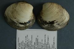 Ming The Clam - former oldest living being on Earth