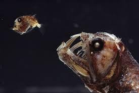 Terrifyingly Toothy Mesopelagic Fish