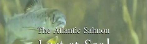 Atlantic Salmon Lost At Sea Film