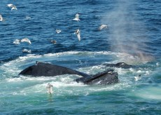 SeaBirds_whales_feeding1