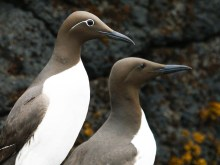 Beautiful Guillemot seabird pair