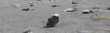 Pacific Ocean Pasture Collapse Starving Countless Seabirds