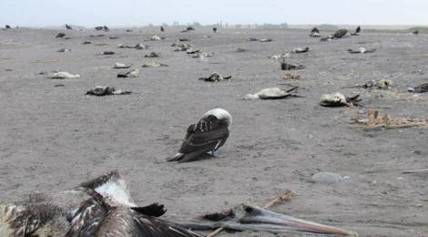 70% Of Shorebirds Have Been Eradicated Since 1973!