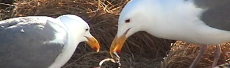 Seagulls Starving At Sea On Pacific Coast