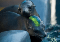 Hundreds of starving California sea lion pups have been rescued.