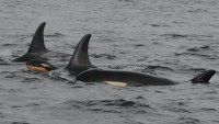 Orca Baby Number 9 born this week ~Jan 20 aka calf j-55