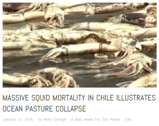 Tens of thousands of Squid die in Chile - click to read more
