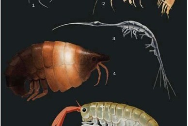 Consider The Copious Copepod