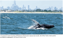 humpback and blue whales near our urban areas