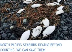 Alaska seabirds dying along with pink salmon