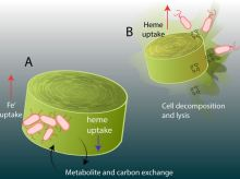 bacters recycle iron (heme)