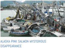 pink salmon disaster