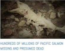 Chum salmon disaster in Japan