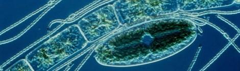 cyanobacter ocean life
