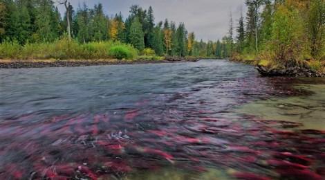 sockeye salmon enhancement fails