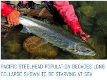 Steelhead starving at sea story