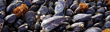 Tatoosh mussels
