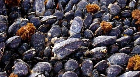 Tatoosh mussels