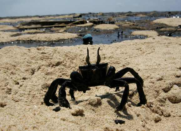A crab covered in oil struggles towards the sea polluted with heavy fuel oil at Ramlet el-Baida public beach (White Beach) in Beirut 29 July 2006. The Mediterranean is threatened by its worst ever environmental disaster after Israel's bombing of a power plant in Lebanon sent thousands of tonnes of fuel gushing into the sea, the environment minister charged today. AFP PHOTO/Ramzi HAIDAR