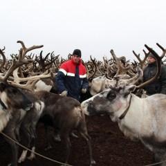 Сибирская язва выявлена уже у 23 жителей Ямала
