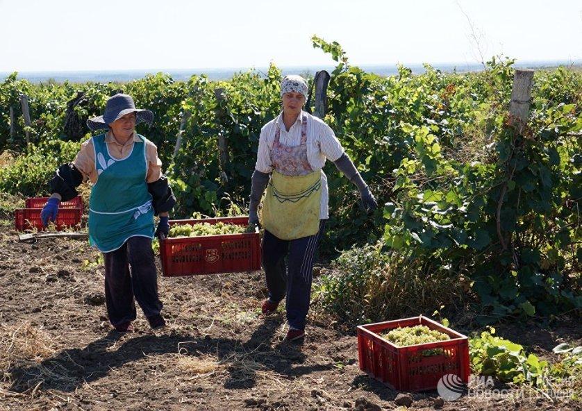 Во время сбора винограда грозди аккуратно укладывают в специальные ящики из пищевой пластмассы, которые сделаны таким образом, чтобы виноград не мялся и не давился. Каждый такой ящик вмещает 12-14 кг винограда.