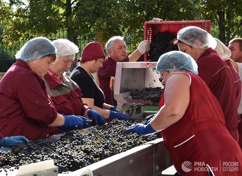 Собранный виноград сортируют вручную на специальном столе, тщательно перебирая его. Листочки, испорченные и недозрелые ягоды убирают. На ферментацию попадают только чистые и спелые ягоды.