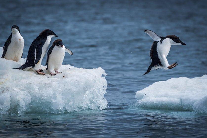Пингвин Адели - один из самых распространённых видов пингвинов. Назван французским исследователем Жюлем Дюмоном-Дюрвилем в честь своей жены. Пингвин Адели очень доверчивы, своими повадками иногда напоминающт человека.