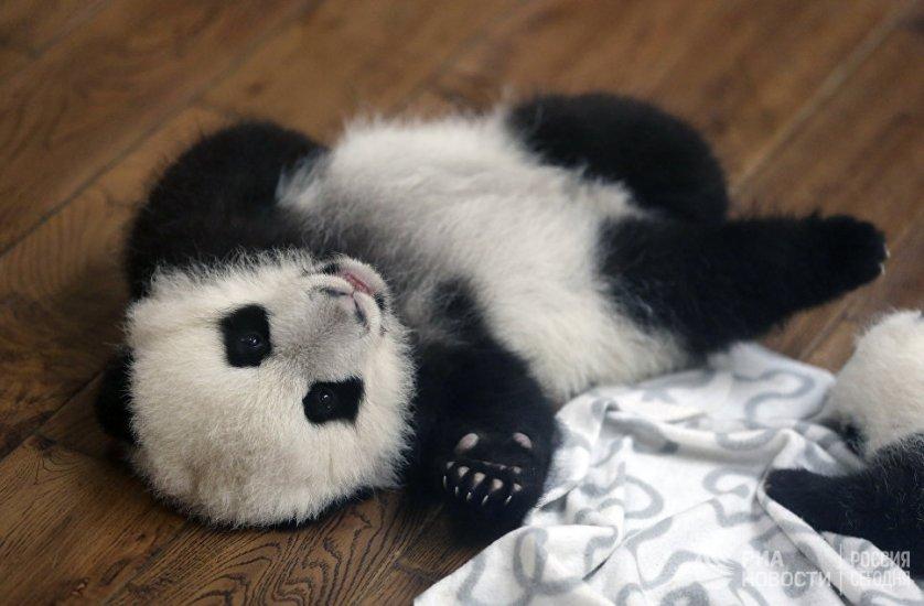 В Китае за убийство панды предусмотрена смертная казнь.