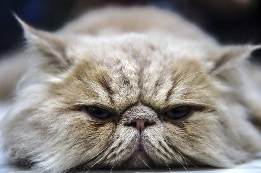 Персидский кот – участник выставки кошек в Турции.