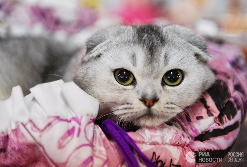 """Кошка породы шотландская вислоухая на выставке """"Кэт-Салон-Декабрь"""" в Москве."""