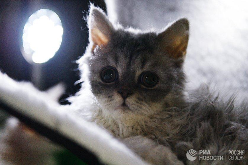 """Кошка породы селкирк-рекс на выставке """"Кэт-Салон-Декабрь"""" в Москве."""
