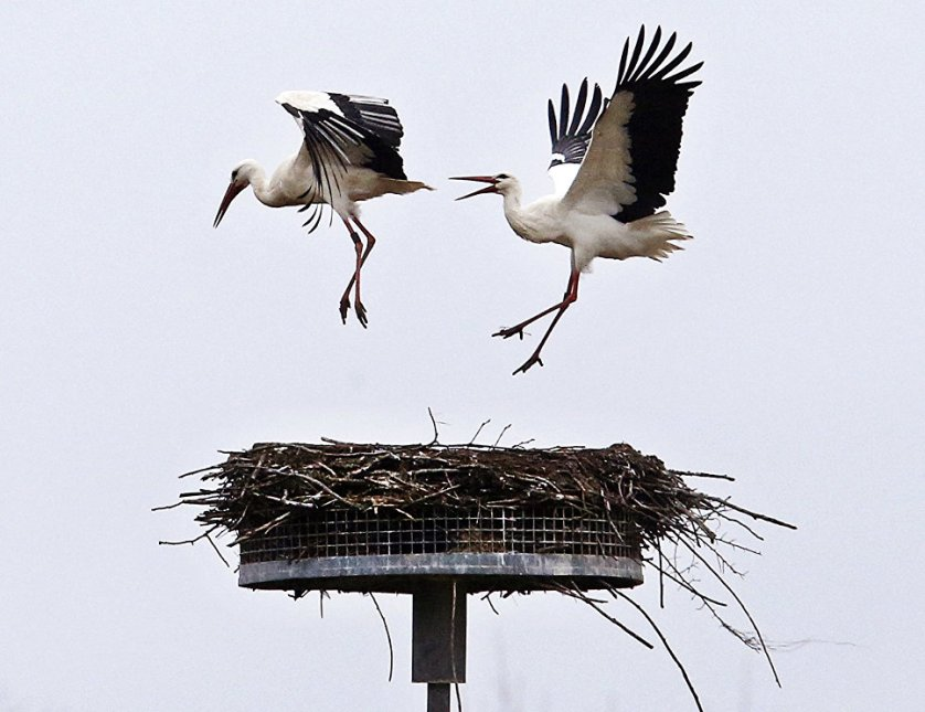 Аист прогоняет конкурента из своего гнезда, построенного в городе Бибесхайм, Германия.