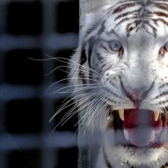 Цирковых белых тигров бросили на трассе в Оренбургской области