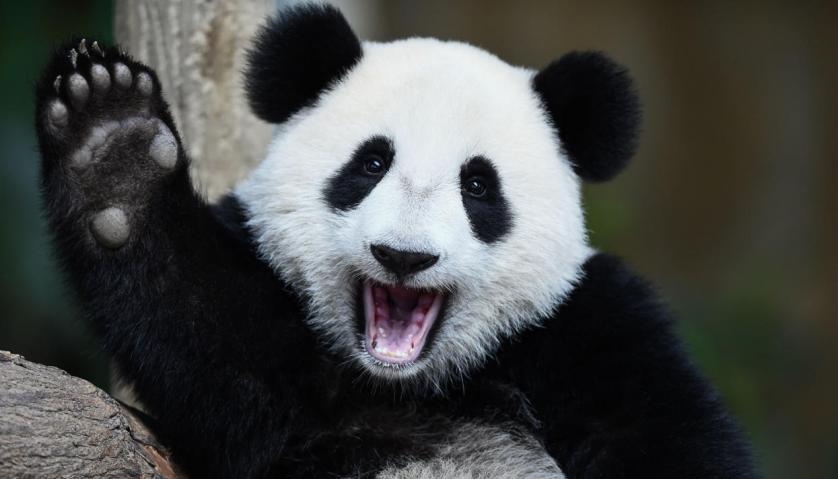 В китайском заповеднике панда укусила девушку за голову