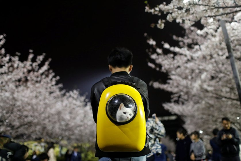 Молодой человек выгуливает своего кота среди цветущей сакуры в университете Тунцзи в Шанхае.