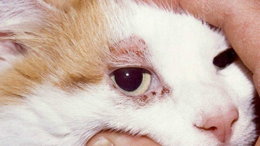 Кошка с атопическим дерматитом