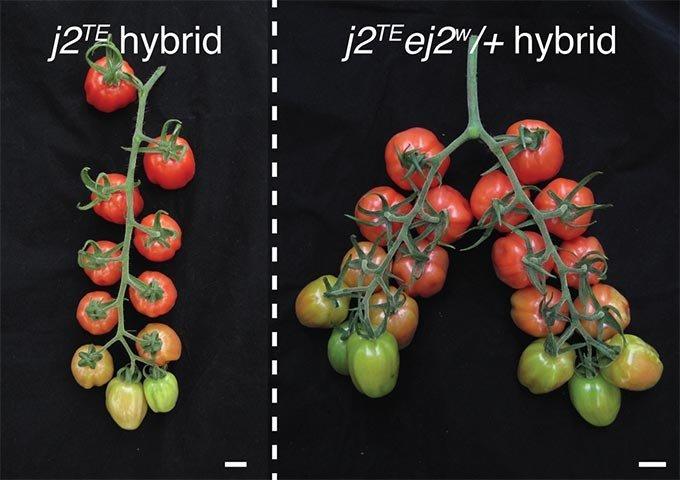"""Обычные """"лозовидные"""" томаты (слева) и их генно-модифицированная разновидность (справа)"""