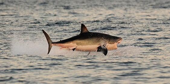 В Австралии трехметровая акула запрыгнула в рыбацкую лодку