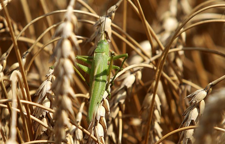 Саранча под контролем: аграрии России отбили «первую волну» нашествия вредителей