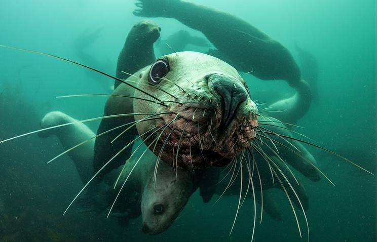 Камчатским краснокнижным морским львам посвятили экологический фестиваль
