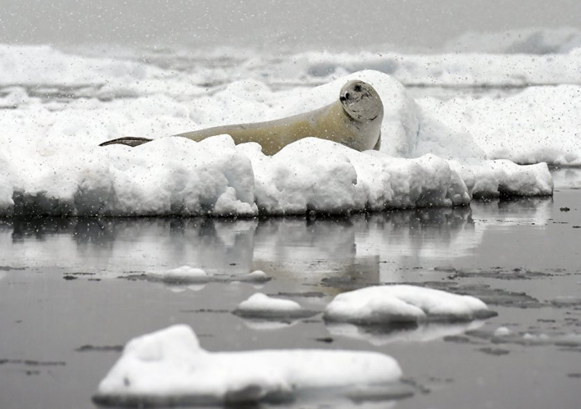 """Пока непонятно, будет ли гигантский айсберг """"путешествовать"""" по океанам Земли в виде единого куска льда, или же он расколется на множество частей более скромных размеров."""