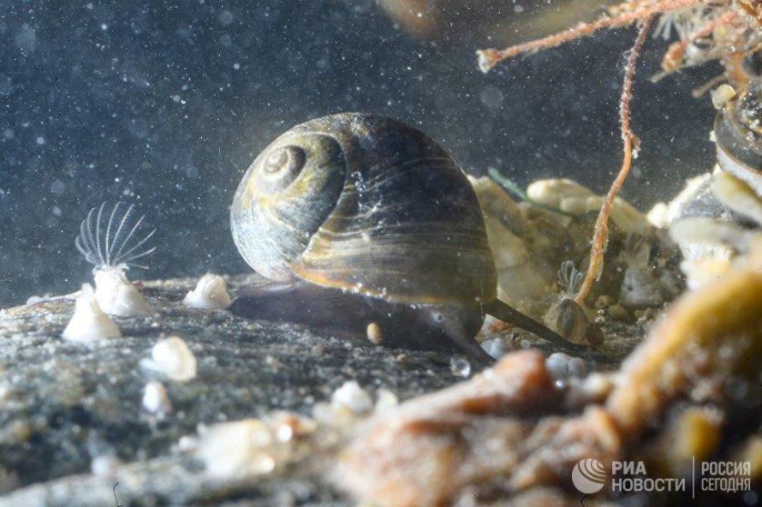 Балянусы (род усоногих раков)и морская улитка в Онежском заливе в районе мыса Глубокий.